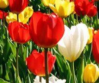 tulipani.jpg